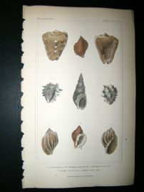 Cuvier C1835 Antique Hand Col Print. Shells #24B